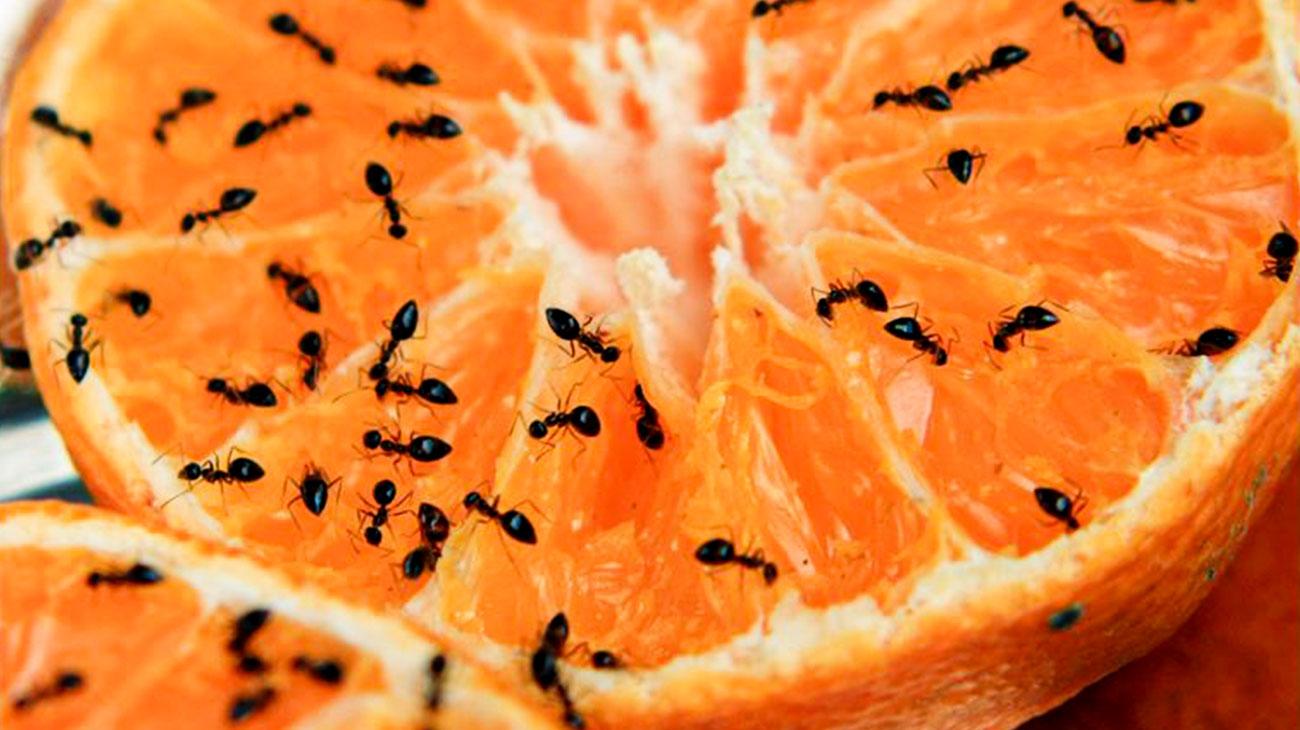 dedetização formigas preço